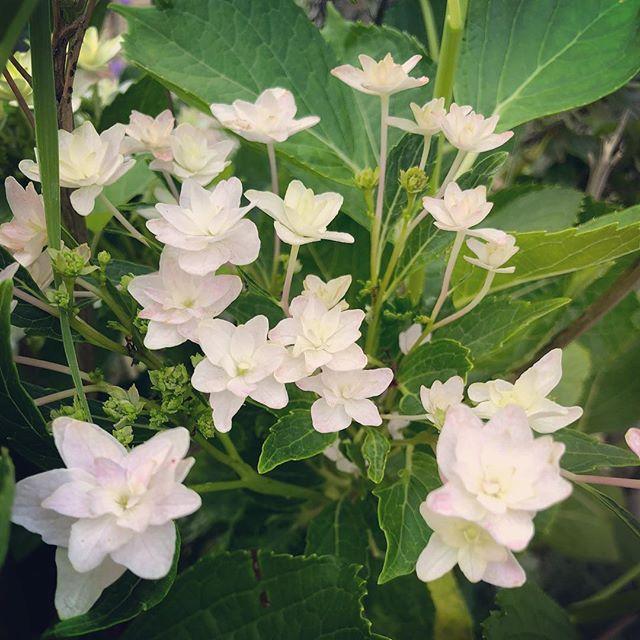 庭に咲いた紫陽花。#紫陽花 #八重 #墨田の花火 #花手鞠