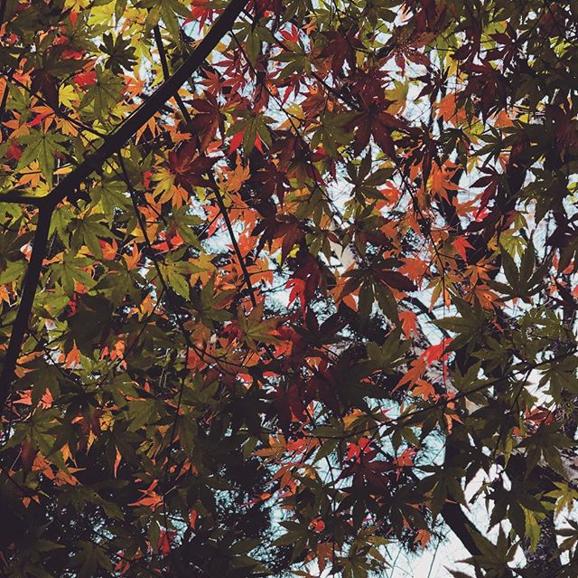 #花貫渓谷 #紅葉まつり #紅葉狩り #紅葉早かった #カラフルで綺麗 #花手鞠